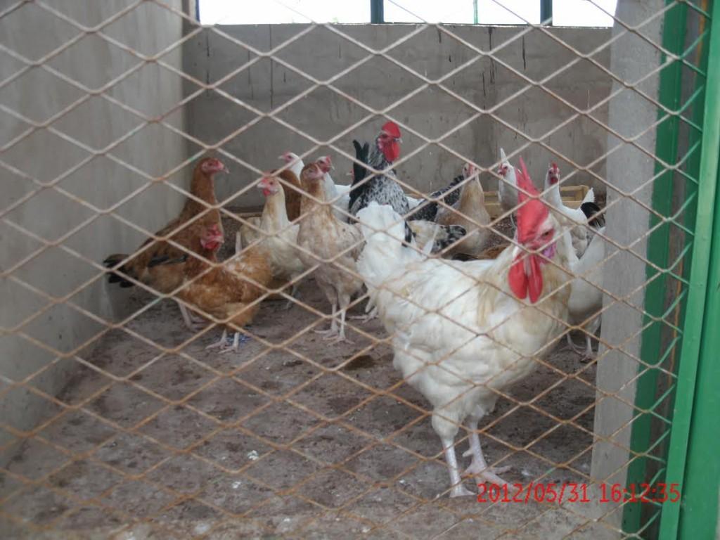 POULAILLER TOLE avec poules